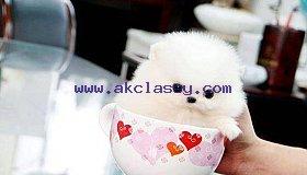 miniature-pomeranian-puppies-akc-208962134_a81ffcbd75349899_858X617_grid.jpg