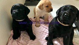 labrador-puppies-5cd1e7f8b5ed6_grid.jpg