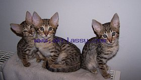 gorgeous-savannah-kittens-for-loving-pet-homes-5c69f9feabe06_grid.jpg
