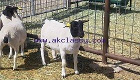 Dorper_Lambs_maga_5-6_months._grid.jpg