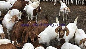 Boer-Goat._grid.jpg