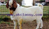 Full Blood Boer Goats Live Sheep Cattle Lambs For sale /Whatsapp: +27621354579