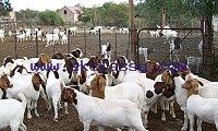 Live Boer Goats, Live Sheep, Cattle, Lambs./Whatsapp: +27621354579
