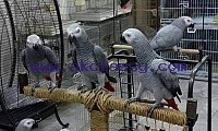 Tamed Beautiful Parrots with CITES and Ostrich Eggs ONLY