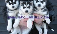 umbdhgs Blue Eyed Siberian Husky Pups Available for sale