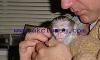 Capuchin Monkeys Seeking for a lovely family now