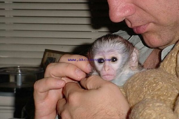 Capuchin Monkeys Seeking for a lovely family now
