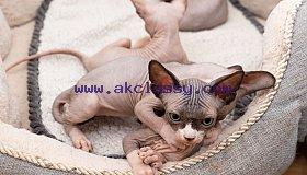 five-adorable-canadian-sphynx-kittens-5c92579921283_grid.jpg