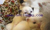 Charming Birman Kittens for sale