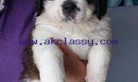 Cute Saint Bernard Puppies for Sale