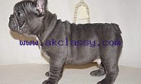 AKC Pure Breed Blue French Bulldog puppies Text Us At (217) 471-7677