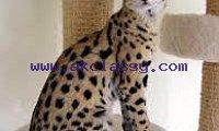 Lovely Serval Kittens for sale