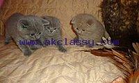 Cute Scottish Fold Kittens sale