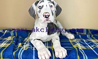 Akc Reg great dane puppies